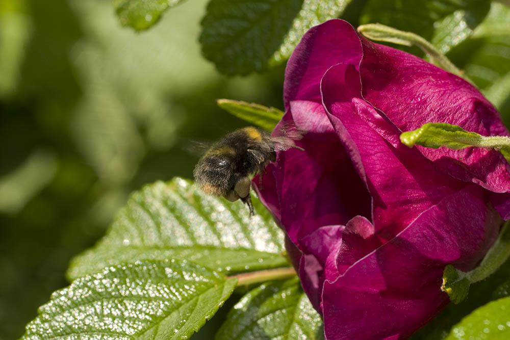 Bumblebee&Cistus20040526UCDCRW_6293